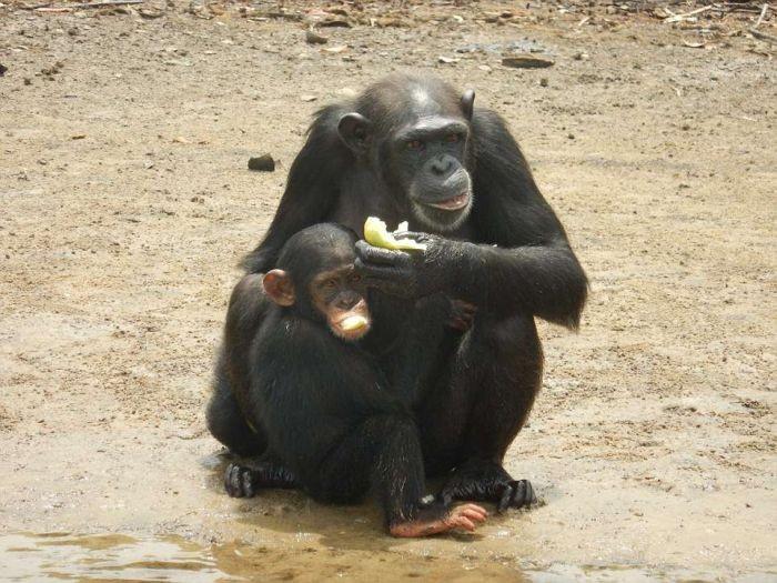Жизнь бывших подопытных шимпанзе (10 фото)