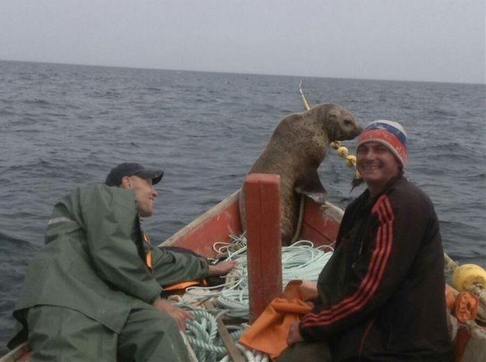 Морской котик 8 часов катался на лодке с рыбаками (5 фото)
