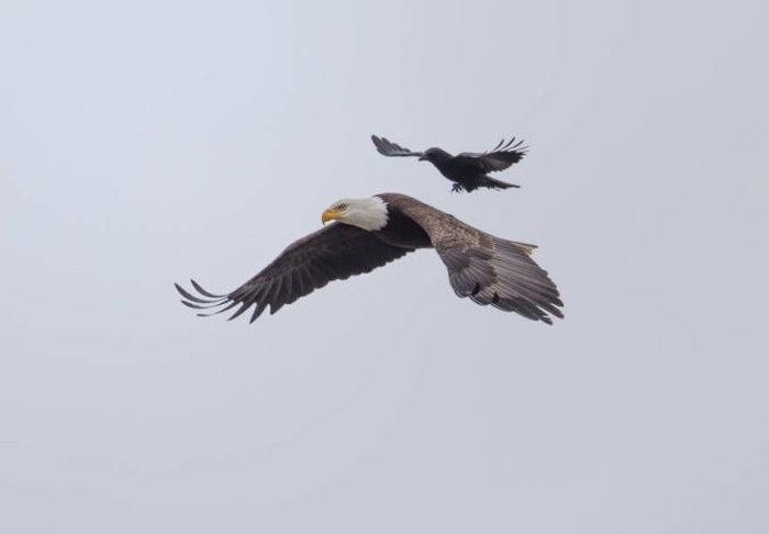 Ворона оседлала орлана, защищая свою территорию (5 фото)