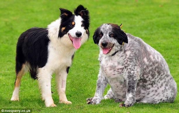 Самая толстая собака в мире весит 58 кг (2 фото)
