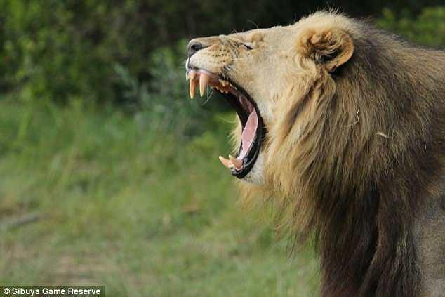Львы съели браконьеров, которые охотились на носорогов (6 фото)