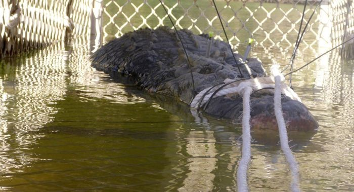 В Австралии был пойман 600-килограммовый крокодил (3 фото)