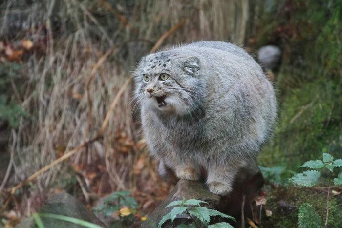 Забавные фотографии диких котов – манулов (25 фото)