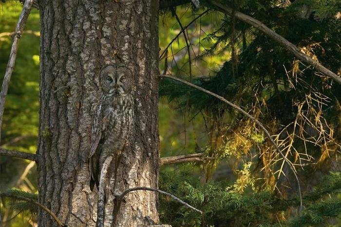 Искусство маскировки: совы (17 фото)