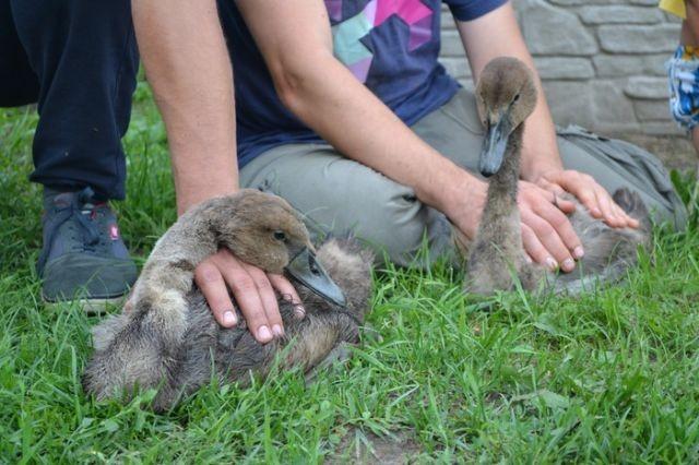 В Бресте спасли семью лебедей от нефти, слитых в озеро (6 фото)