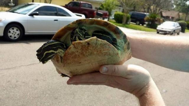 Спорткар столкнулся с черепахой (6 фото)