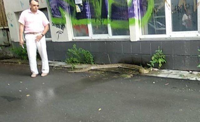 В Тюмени на улице обнаружили трехметрового питона (2 фото)