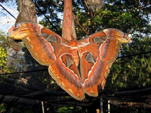 Тайская бабочка павлиноглазка (3 фото)
