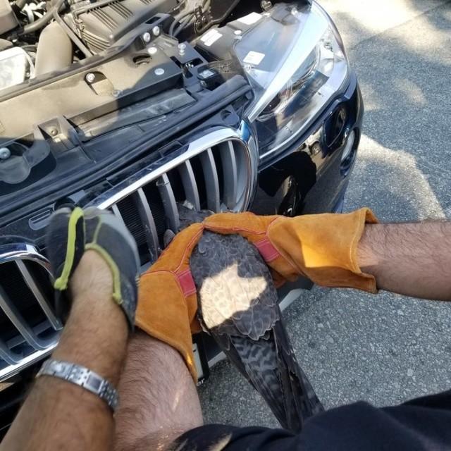 Спасение жизни сокола, из решетки радиатора авто (5 фото)