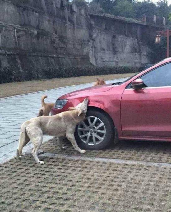Бездомные собаки решили полакомиться автомобилем (4 фото)