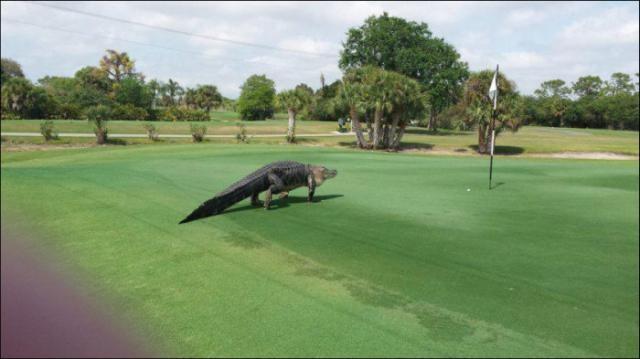 Незванный гость на поле для гольфа (3 фото)