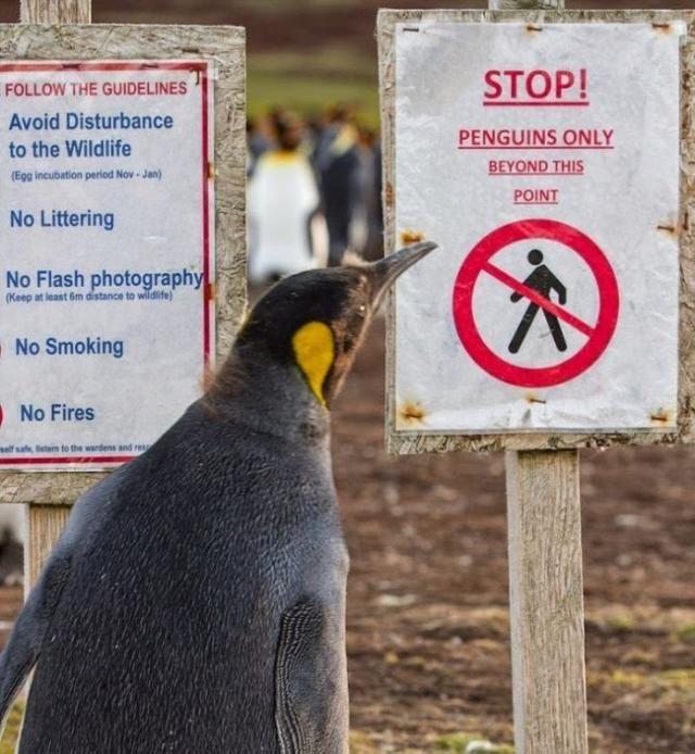 Пингвины под надежной защитой (4 фото)