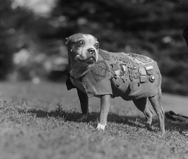 Удивительная история необычного сержанта Стабби (4 фото)