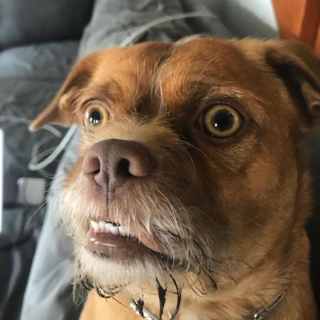 Забавный пес по кличке Бекон (10 фото)