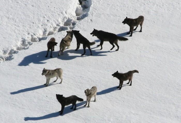 Ученые и писатели, которые селились по соседству со стаей волков