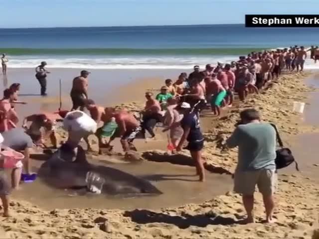 Люди не оставили крупную акулу в беде