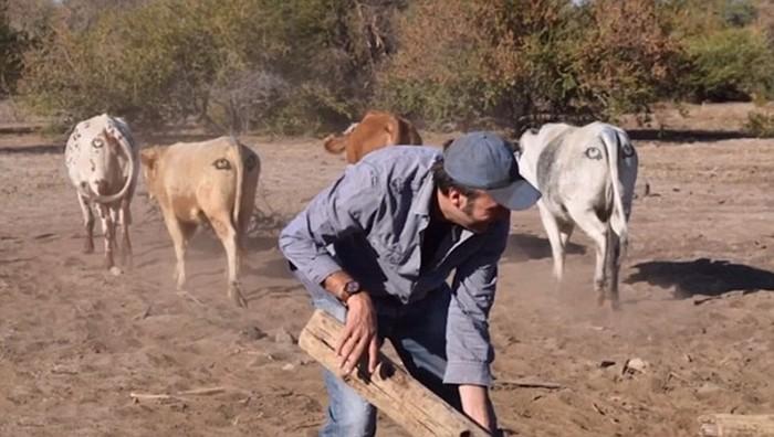 Зачем коровам в Ботсване глаза по обе стороны хвоста