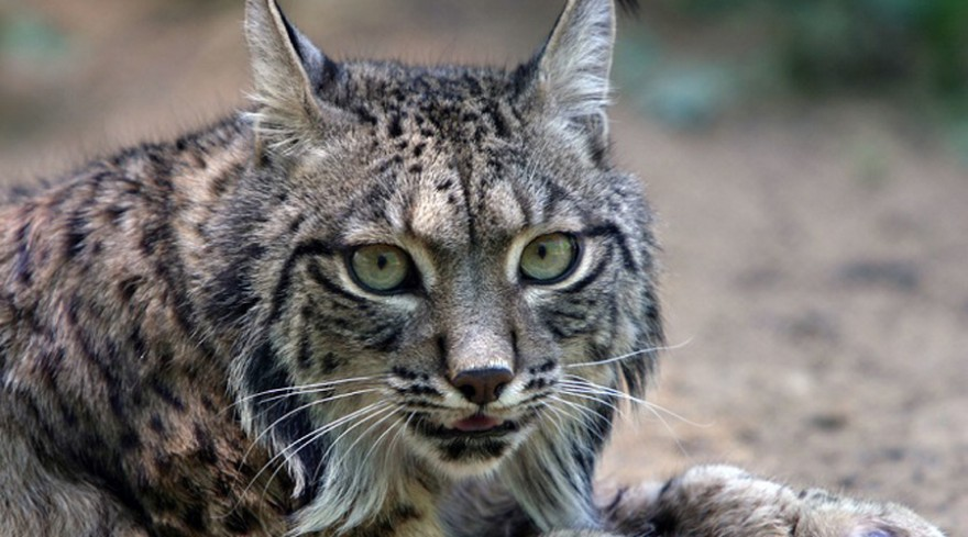 Исчезающие виды кошек