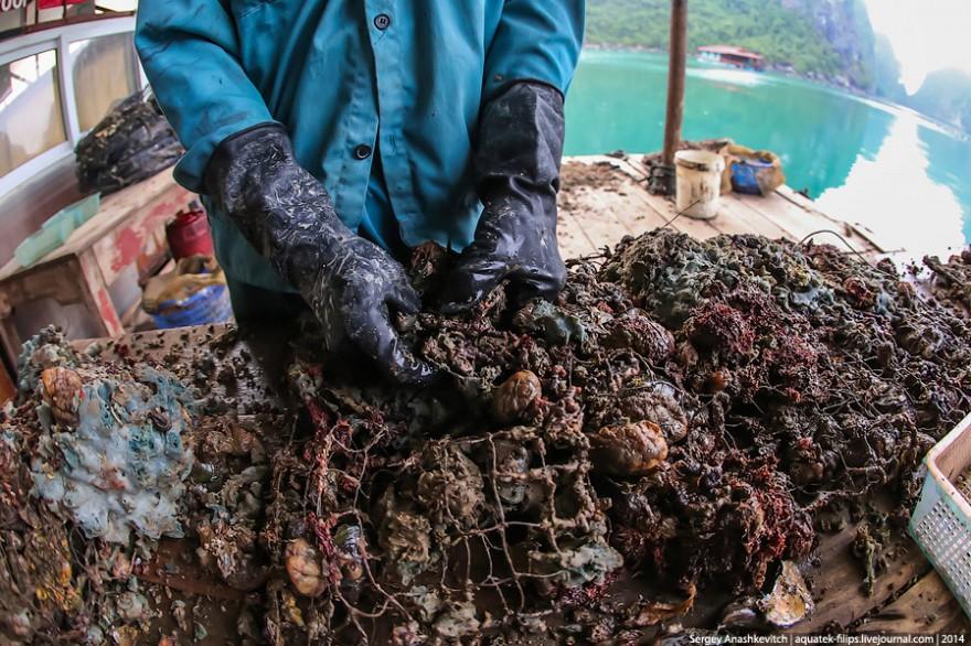 Как добывают жемчуг во Вьетнаме