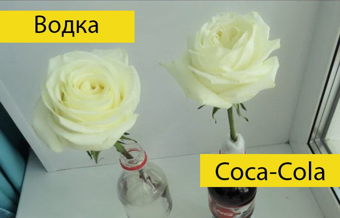 Водка или Coca-Cola: в чем розы простоят дольше