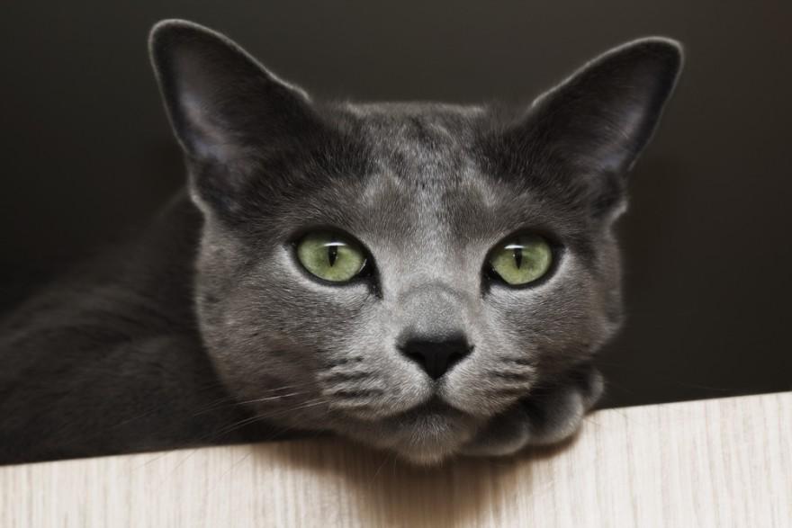 20 интересных фактов о кошках от заводчика