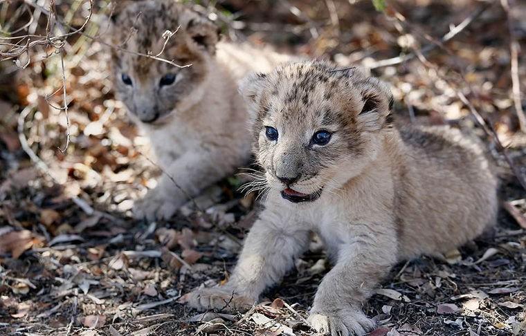 Родились первые в мире львята из «пробирки»