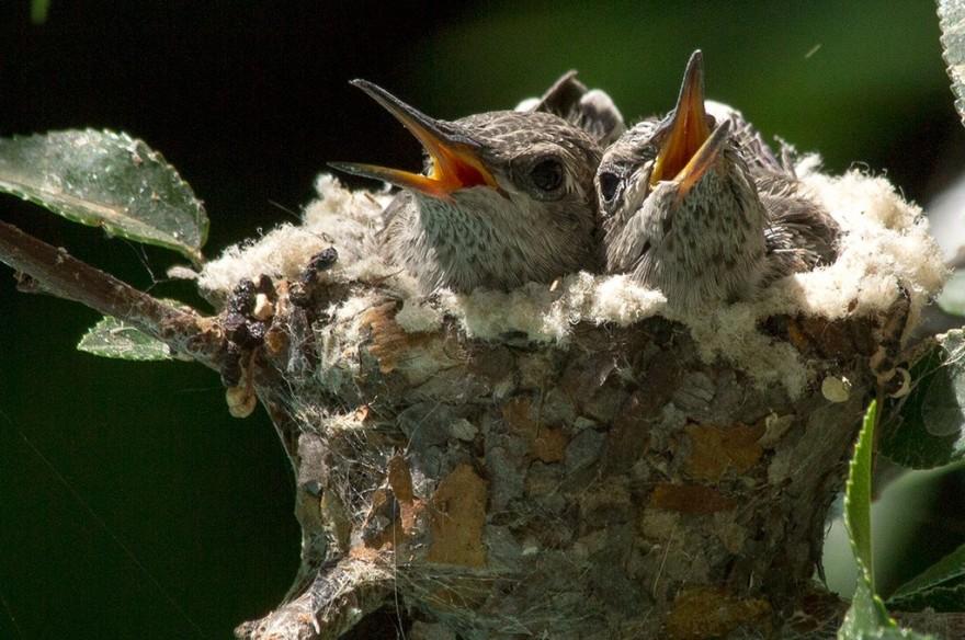 Хроника гнезда колибри Калипта Анны, длинною в 6 недель
