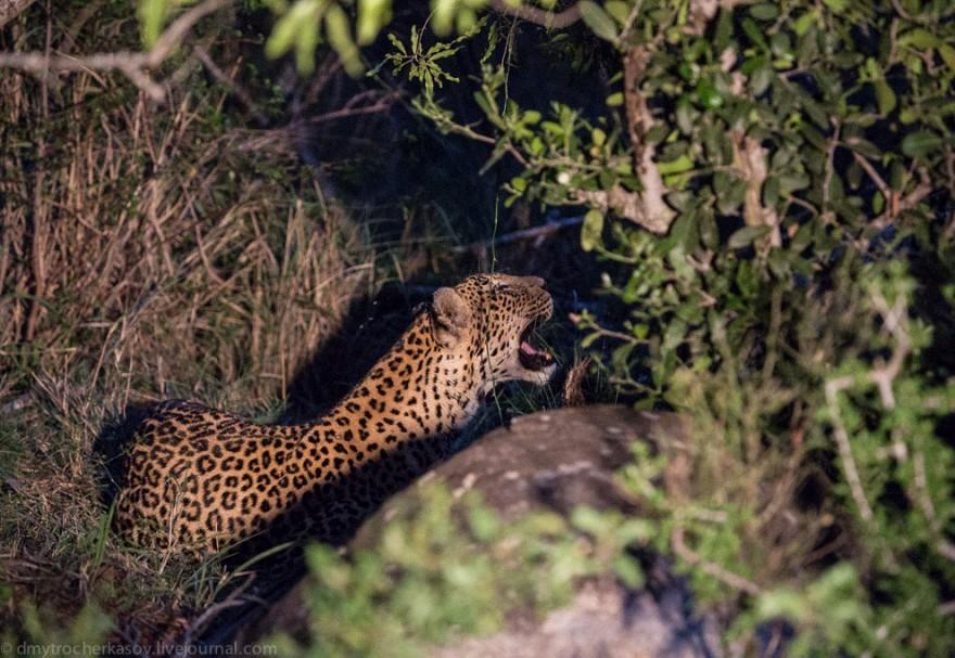 Немного из жизни леопардов