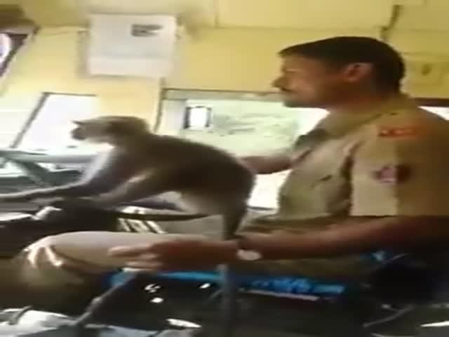 Водителя автобуса из Индии уволили за то, что он дал порулить обезьянке