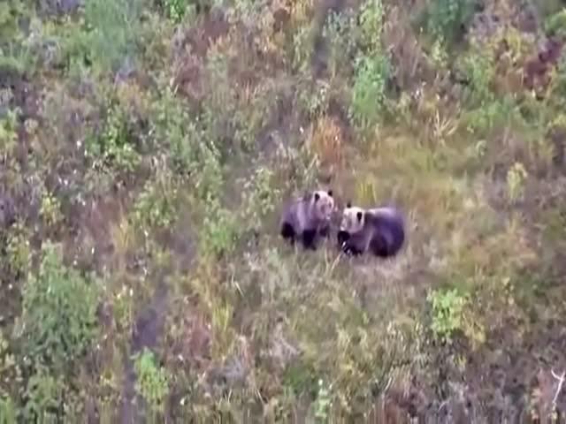 Дружба пса с медведями
