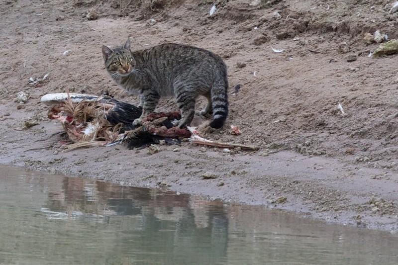 «Великая стена» против кошек в Австралии