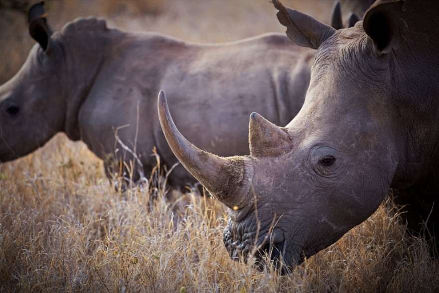 Носороги будут шпионить за браконьерами