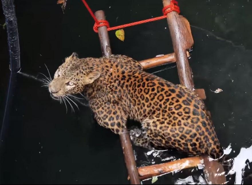 Операция по спасению упавшего в колодец леопарда