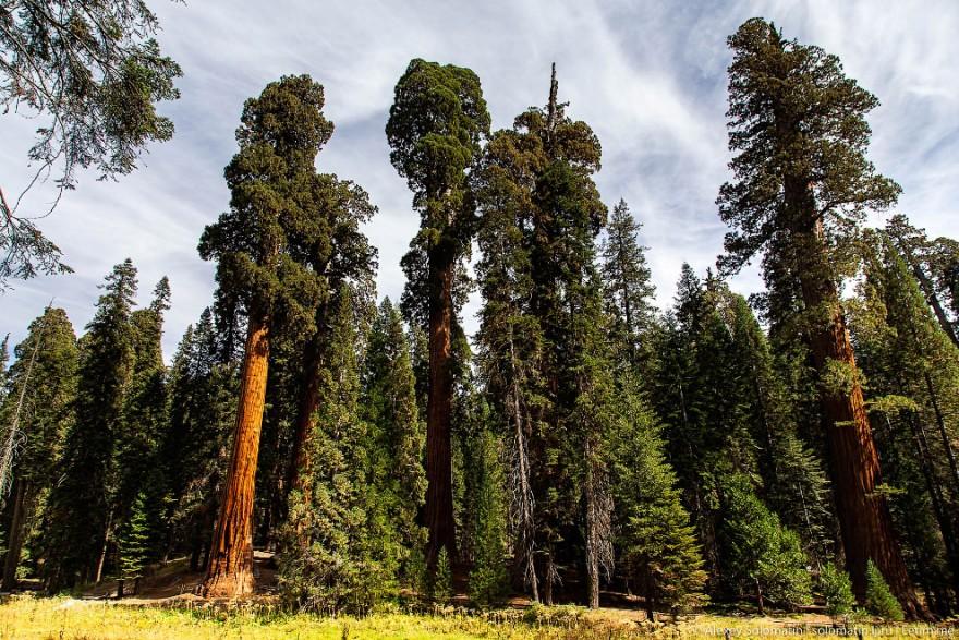 Самые большие деревья в Национальном парке Секвойя