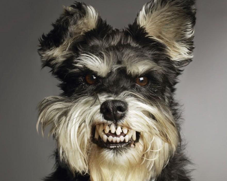 5 самых злых маленьких собак