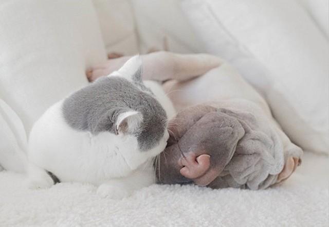 Лучшие друзья: шарпей и котик