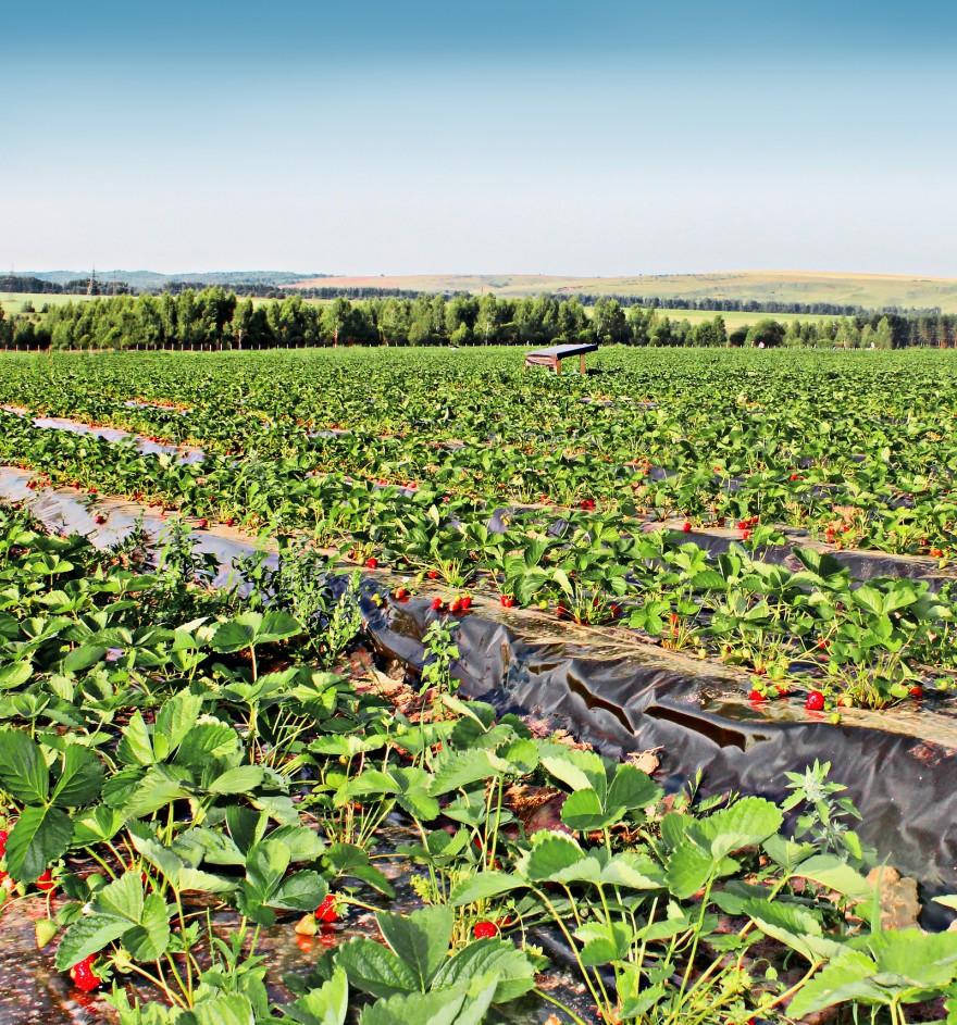 Как выращивают ягоды в Нижегородской области