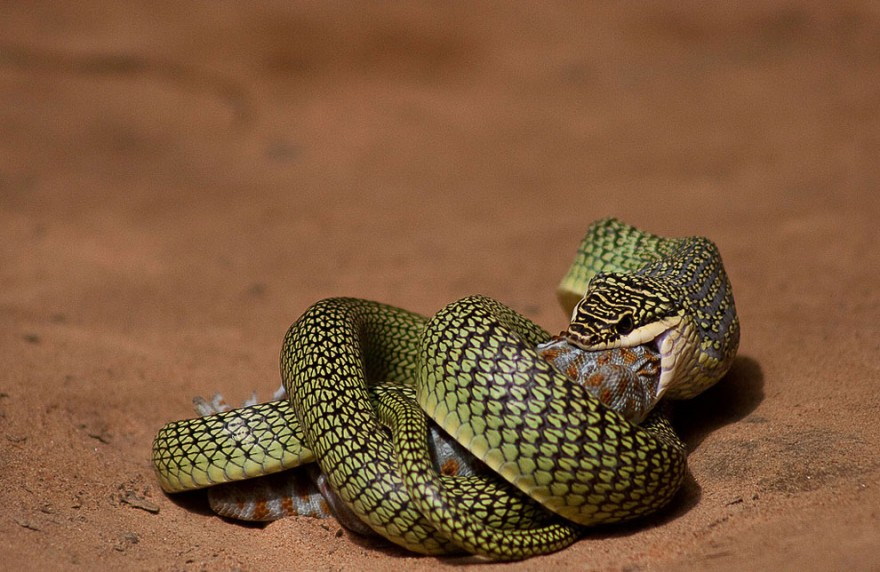 Летающие змеи, которые могут преодолевать значительные расстояния по воздуху