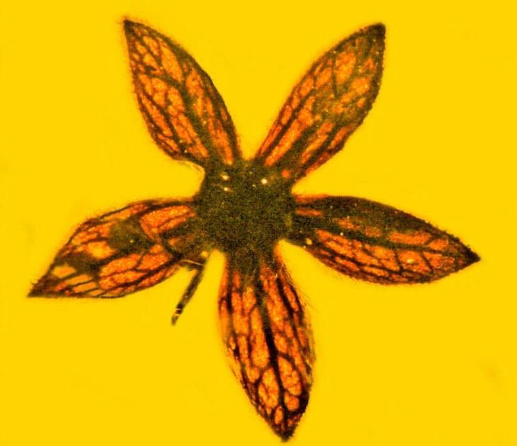 В Мьянме нашли в янтаре цветы неизвестного вида, которым 100 миллионов лет