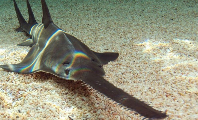 5-метровый хищник с телом акулы и носом-пилой на видео