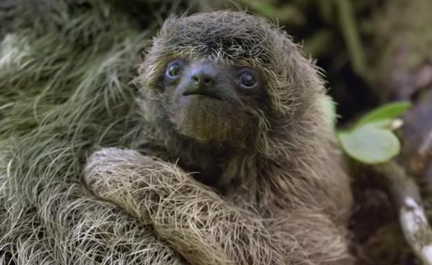 Любопытные факты о ленивцах