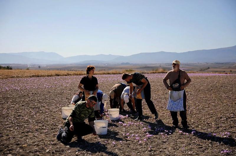 Сбор шафрана в фотографиях