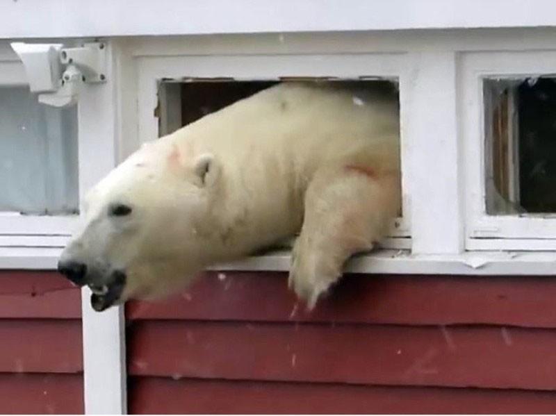 В Шпицбергене медведь вломился на склад и не смог выбраться